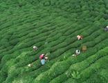 Yaş çay yaprağına ne kadar fark ödenecek? Bakanlık açıkladı