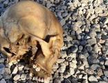 Köpeklerin bulduğu kafatası olayında 4 gözaltı!