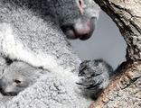 Koalalar için 18 milyon dolar ayırdılar