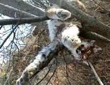 Ağaç dalı üzerinde vaşak ölüsü bulundu