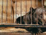 'Dünyanın en yalnız ayısı' özgürlüğüne kavuştu