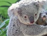 Dünyanın en yaşlı koalası öldü