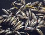 Binlerce balık ölmüştü! 4 tesise ceza