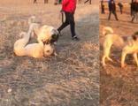 Köpekleri dövüştürüp acımasızca birbirine parçalattılar!