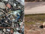 Zehirli balık kafalarından yiyen 8 çoban köpeği öldü