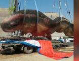 40 ton ağırlığında, 18 metre! Kıyıya vurdu