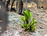 Marmaris'te yangınlar sonrası doğa canlanıyor