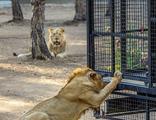 """Antalya'da telli kamyonetle """"aslan safarisi"""""""