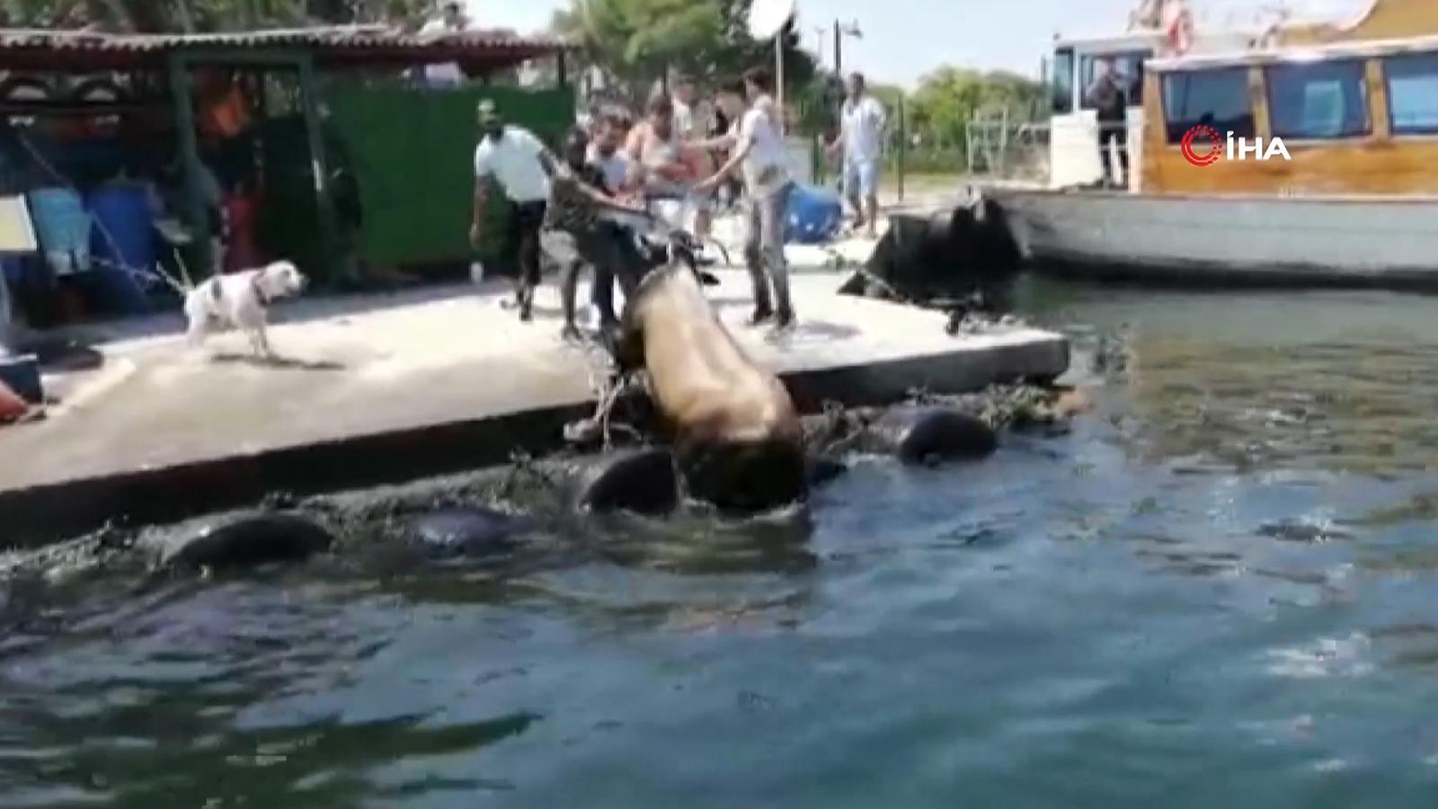 Kurbanlık dana Kasımpaşa'dan denize atlayıp Balat'a kadar yüzdü!