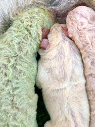 Köpek yavrusu yeşil tüylü doğdu... Son derece eşsiz bir olay!
