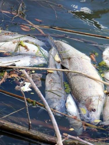 Kızılırmak Nehri'nde toplu balık ölümleri tedirgin ediyor