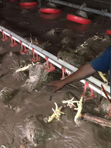 Bartın'da selde 24 bin tavuk öldü, ortaya çıkan görüntüler yürekleri sızlattı