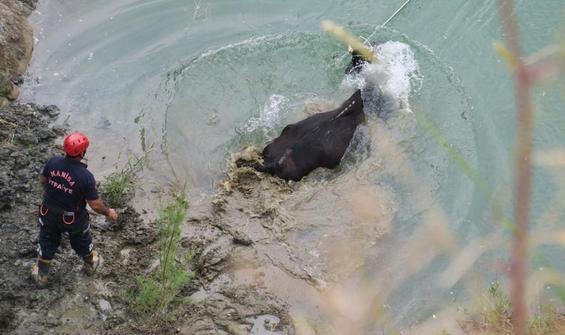 Hamile inek için 7 saatlik kurtarma operasyonu
