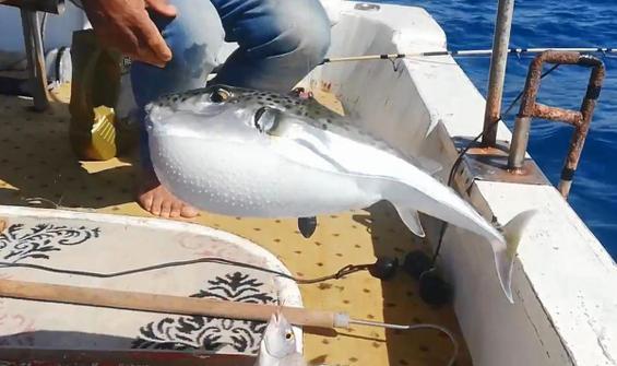 Balon balığına karşı uyarı!