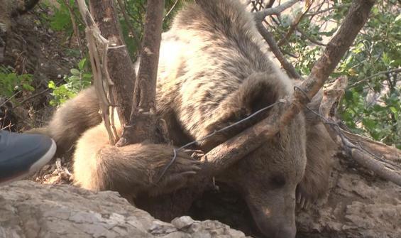 Ayağı tele takılan ayı, kurtarıldı