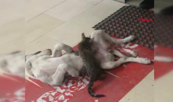 Kedi ve köpek dostluğu kamerada