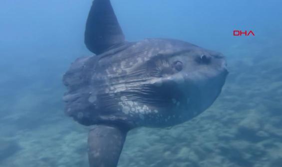 İbrice Limanı'nda 'Ay balığı' görüldü