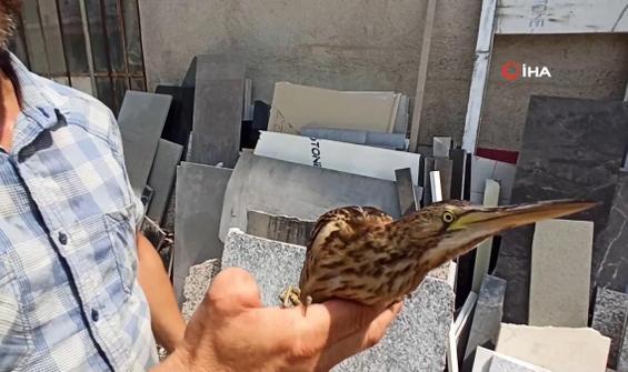 Nesli tükenmekte küçük balaban kuşu bulundu