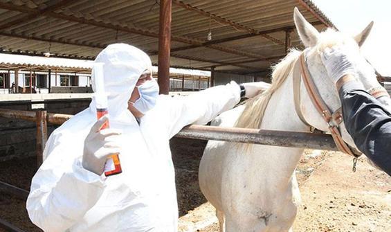 Atlar koronavirüse karşı antikor üretti
