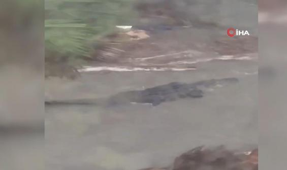 Kasırga vurdu sokaklar dev timsahlarla doldu