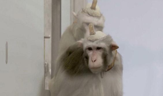 Maymunlara yapılan deney tepki çekti!