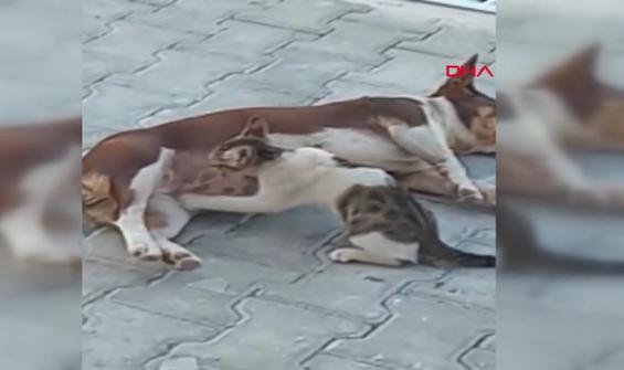 Köpek 'Max' üç kedi yavrusuna annelik yapıyor