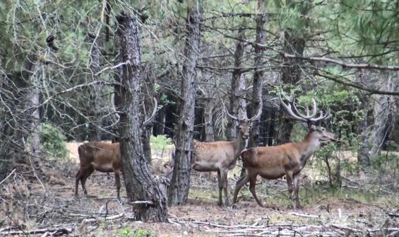 Kızıl geyik av ihalesi iptal edildi