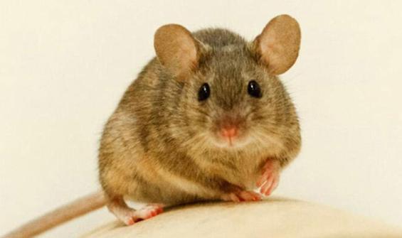 Koronavirüsten sonra fare paniği: 50 kişiye bulaştı