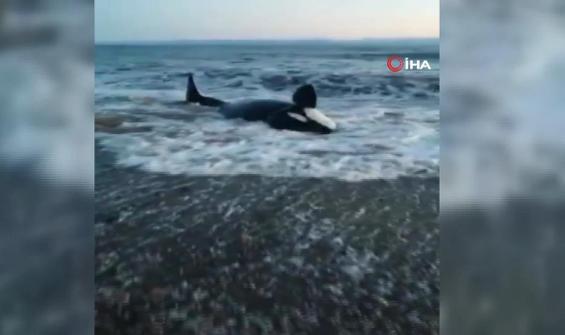 Kıyıya vuran balina saatler sonra kurtarılabildi