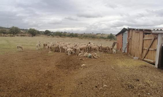 Hayvanlarda çiçek hastalığı! 15 köy karantinada