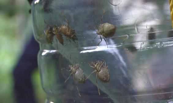 Kadıköy'de 'kahverengi kokarca böceği' kabusu!