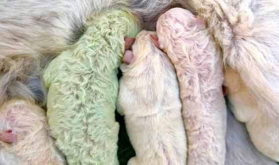 Köpek yavrusu yeşil doğdu