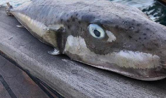 Bodrum'da 6 kiloluk balon balığı