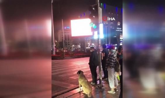 Kırmızı ışıkta bekleyen köpek gülümsetti