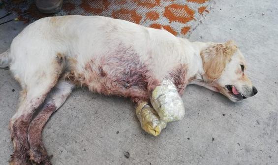 İki bacağı kesilmiş halde yavru köpek bulundu!