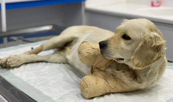 Patileri kesilen yavru köpek Pamuk'tan sevindiren haber
