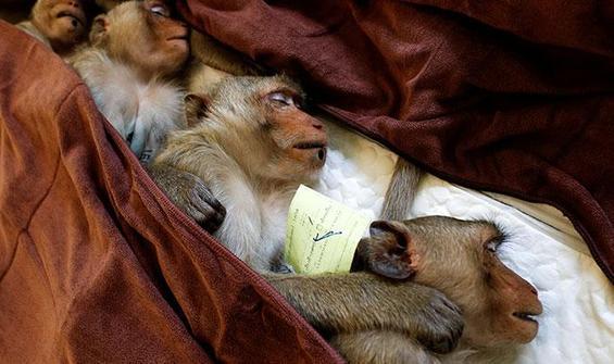 'Maymunlar arasında virüsün yayılması engellendi'