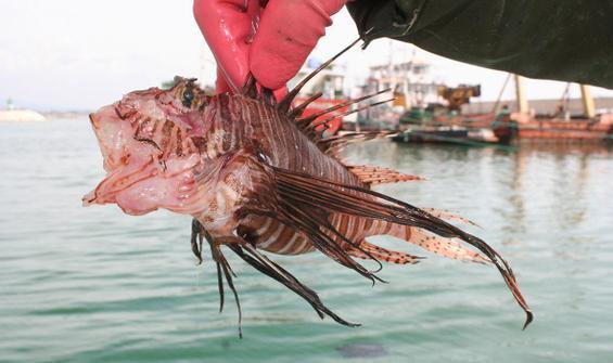 Bu balığın zehri, cinsel problemlere çözüm olabilir!