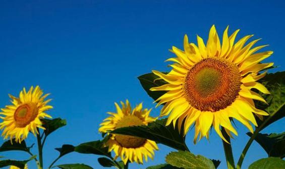 Ayçiçek tohumu yağının gümrük vergisi indirildi