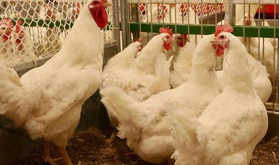 390 binden fazla tavuk ve ördek itlaf edildi