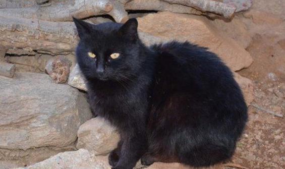 Kovid-19 bulaşan kediler itlaf edildi