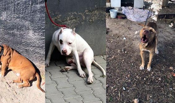 Adana'da 'tehlikeli köpek' operasyonu!