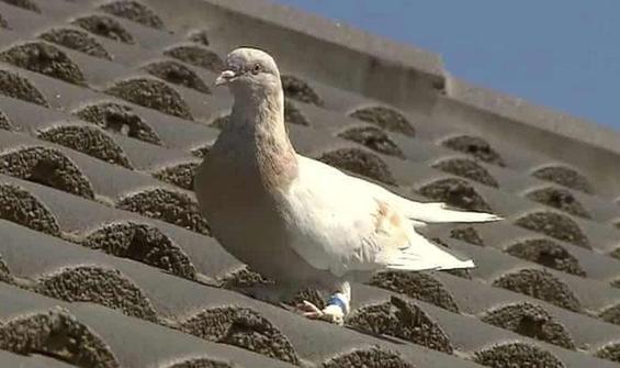 13 bin km yol giden güvercin Joe affedilebilir!