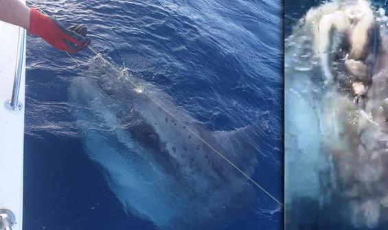 Balıkçıların ağına takılan 400 kiloluk dev serbest bırakıldı