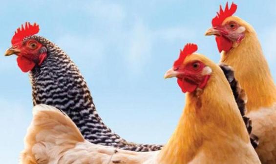Kuş gribi rekor seviyede: Milyonlarca tavuk itlaf edildi