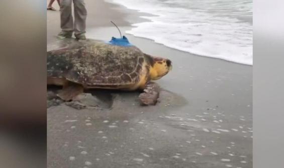Tedavisi biten deniz kaplumbağasına uydu alıcı takıldı