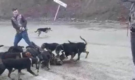 Avcılar köpeklere parçalattı