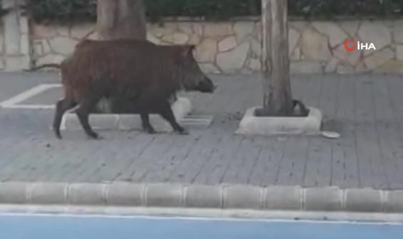 Yaban domuzu Marmaris sokaklarında böyle gezdi