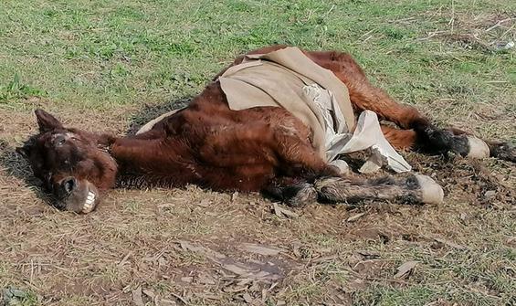 Vicdansızlar atı göz göre göre ölüme terk etti!