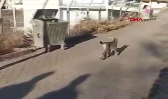 Nesli tehlikede olan vaşak sokakta görüntülendi